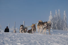 在长Sedivacek的线索的Dogsled  库存照片