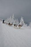 在长Sedivacek的足迹的Dogsled  免版税库存照片