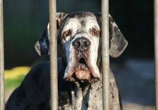 在门后的丹麦种大狗 免版税库存图片