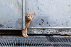 在门后的好奇红色猫 图库摄影
