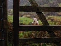 在门后的湿绵羊 库存照片