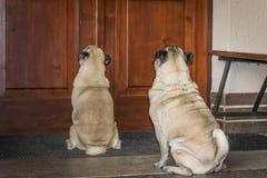 在门廊的哈巴狗在门前面 免版税图库摄影