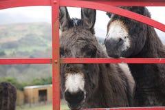 在门的驴在爱尔兰 库存照片