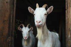 在门道入口的两白色山羊 图库摄影