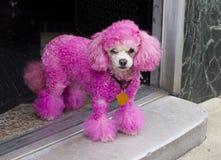 在门道入口的微型桃红色长卷毛狗 免版税库存图片