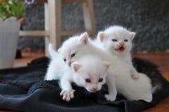 在门廊的三只新出生的小猫 免版税库存图片