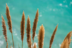在闪烁的绿松石太平洋前面的蒲苇 免版税库存图片
