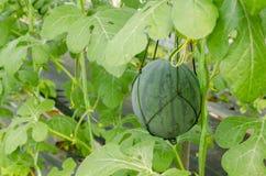 在闭合的大厦的有机西瓜在农场 免版税库存照片