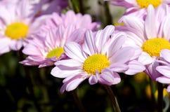 在闭合的桃红色菊花 免版税库存图片