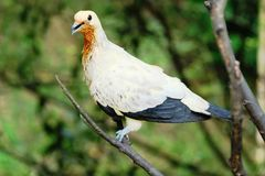 在闭合的照片的染色皇家鸽子有迷离背景 库存图片