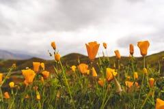 在闭合的鸦片的选择聚焦在一阴暗天 鸦片需要阳光打开 采取在加利福尼亚Superbloom期间 免版税库存照片