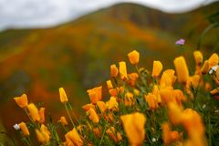 在闭合的鸦片的选择聚焦在一阴暗天 鸦片需要阳光打开 采取在加利福尼亚Superbloom期间 库存照片