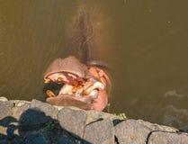在阎罗王Jigoku的河马等待的食物 免版税库存照片