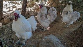 在队伍的安达卢西亚的母鸡 库存照片