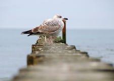 在防堤的海鸥 库存照片