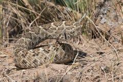 在防御位置的西部菱纹背响尾蛇响尾蛇 免版税库存照片