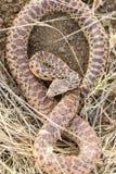 在防御姿势的和平的穴蛇Pituophis catenifer catenifer成人 免版税库存图片