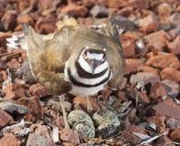在防御的双胸斑沙鸟 库存图片