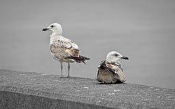 在防波堤上的海鸥 库存图片