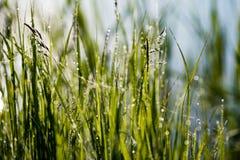 在阳光下反弹第一新鲜的绿草与de下落  免版税库存图片