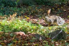 在阳光下小兔,准备闩上 免版税库存照片