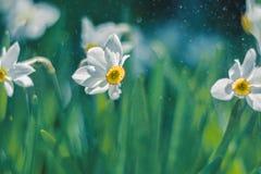 在阳光下开花黄水仙户外 bokeh的背景由雨下落做成 免版税库存图片