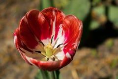 在阳光下白色郁金香开了花 免版税库存照片