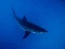 在阳光下的大白鲨鱼在蓝色海洋 库存照片