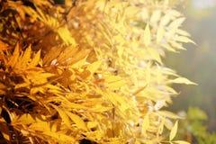 在阳光下的明亮的黄色秋叶 秋天季节性背景 免版税库存照片