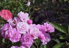 在阳光下的桃红色花 库存图片