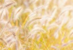 在阳光下的秋天芦苇 免版税库存图片