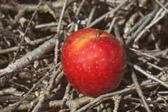 在阳光下的红色水多的牢固的果子苹果在说谎在分支在秋天庭院里 有机healt自然饮食的概念  免版税库存照片
