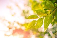 在阳光下的绿色叶子有bokeh背景 图库摄影