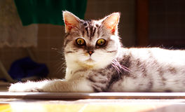 在阳光下的英国短发猫 免版税图库摄影