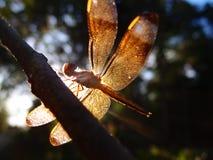 在阳光下的蜻蜓 库存图片