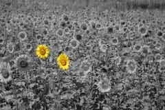 在阳光下部分色的向日葵的领域 免版税库存照片