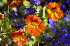 在阳光下金莲花五颜六色的花,宏指令 图库摄影