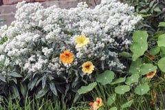 在阳光下金莲花五颜六色的花,宏指令 免版税库存图片