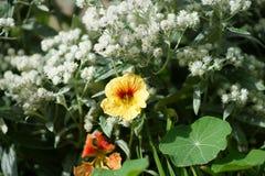 在阳光下金莲花五颜六色的花,宏指令 免版税库存照片