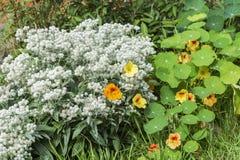 在阳光下金莲花五颜六色的花,宏指令 免版税图库摄影