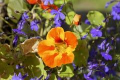 在阳光下金莲花五颜六色的花,宏指令 库存照片