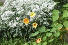 在阳光下金莲花五颜六色的花,宏指令 库存图片