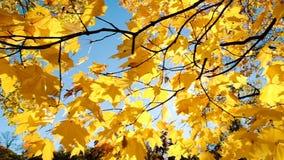 在阳光下黄色秋叶,照相机慢动作的水平的运动 股票视频