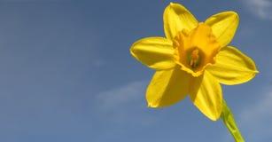 黄水仙在阳光下 图库摄影