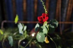 在阳光光芒的花金莲花伯根地 免版税库存照片