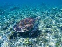 在阳光反射下的绿海龟 在海水的绿海龟 库存照片