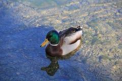 在阳光和阴影湖低头游泳 免版税库存照片