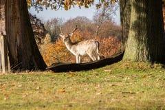 在阳光沐浴的幼小雄鹿 免版税库存图片