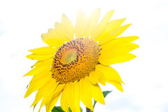 在阳光的向日葵在庭院里 免版税库存图片