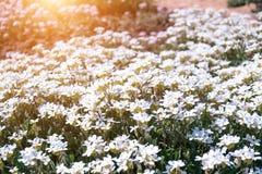 在阳光的小的狂放的白花Houstonia caerulea在日落的 春天 免版税库存照片